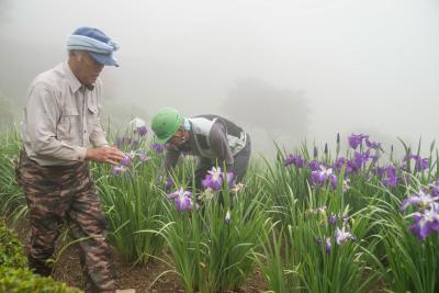 石巻市牧山 零羊崎神社 花菖蒲 24日から一般開苑 東北地方が梅雨入り