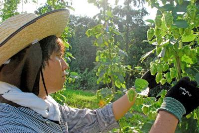 地元産ホップのビール誕生 「石巻日和」3種を販売 北村の向陽 ホールディングス